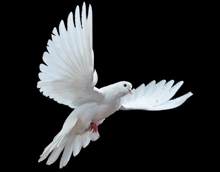 Ermeni Güvercini