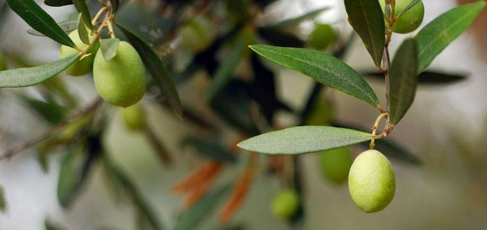 Türkiye'nin yüzde 83'ü yeni zeytin tasarısına karşı
