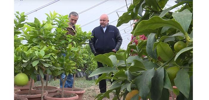 """Urfalılar Karabağ'da """"pomelo devrimi"""" yapıyor"""