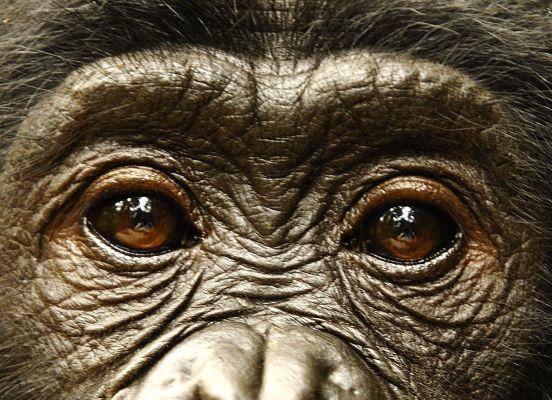 Ahlaklı olmayı bonobolardan mı öğreneceğiz?
